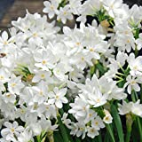 10 Paperwhites Ziva, 17+cm Size Extra Large Paperwhites for ForcingGrown in Israel! - Best Quality - Indoor Blooming & Fragrant!