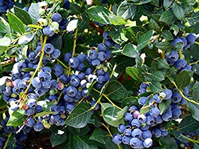 Higarden Blueberry Fruit Seeds, Balcony Bonsai Tree Seeds, 200 particles / bag
