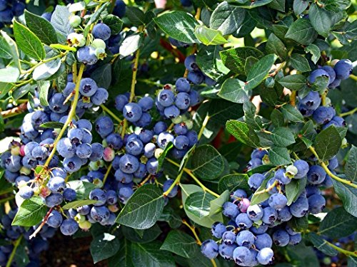 Higarden Blueberry Fruit Seeds, Balcony Bonsai Tree Seeds, 200 particles / bag (Best Fruit Trees To Plant In Michigan)
