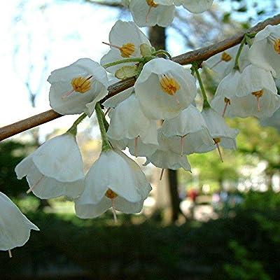 Carolina SILVERBELL Halesia Carolina 5 Seeds : Garden & Outdoor