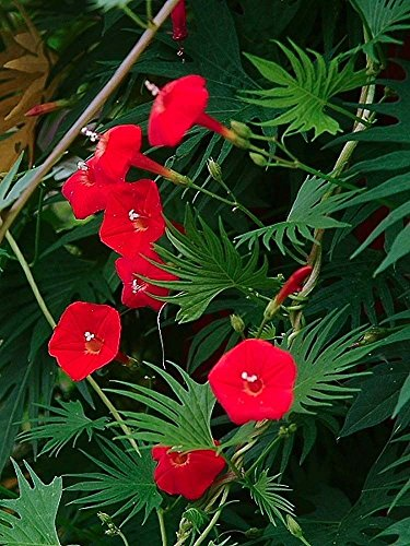 (MORNING GLORY RED - CYPRESS VINE - Ipomoea quamoclit - 70 seeds CLIMBING FLOWER)
