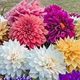 Dahlia Dinner Plate Classic Mix - 5 Bulbs - Huge Blooms - Bright Colors | Ships from Easy to Grow