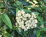 Prague Viburnum (Viburnum x pragense)