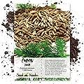Seed Needs, Cumin Herb (Cuminum cyminum) 1,200 Seeds Non-GMO