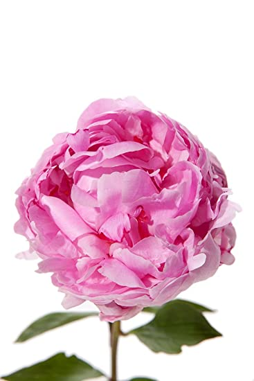 Amazon pink peony flowers light pink peonies 40 stems pink peony flowers light pink peonies 40 stems mightylinksfo