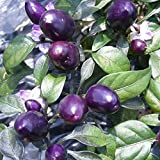 10 Hot Pepper Seeds 'Peruvian Purple Chile,Capsicum frutescen - from Peru, Mild