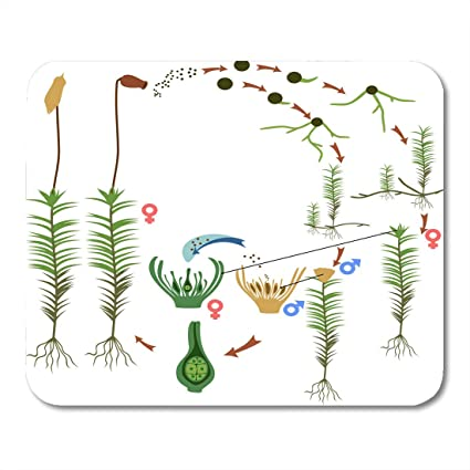 Diagram Of Polytrichum - Wiring Diagrams