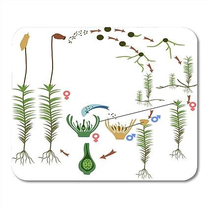 Amazon Boszina Mouse Pads Green Antheridium Moss Life Cycle