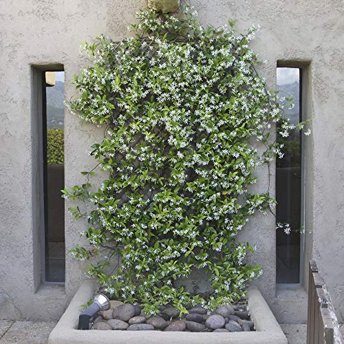 Cottage Hill Star Jasmine - 2 Piece Live Plant, White Blooms by Cottage Hill (Image #2)