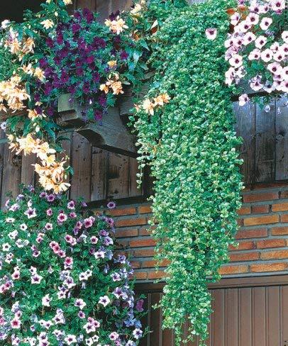 Blumensamen Bonsai winterhart mehrj/ährig f/ür Ampeln und K/ästen minzartigem Duft 100pcs Rarit/ät H/änge-Minze Indian Mint mit frischem Qulista Samenhaus