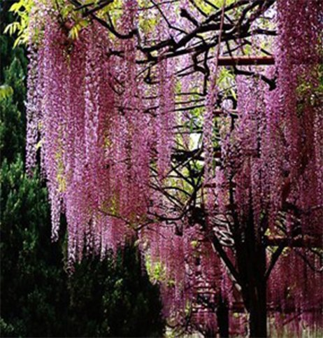 (WISTERIA #35) 35pcs/bag Hot Selling Pink Wisteria Flower Seeds for DIY Home Garden