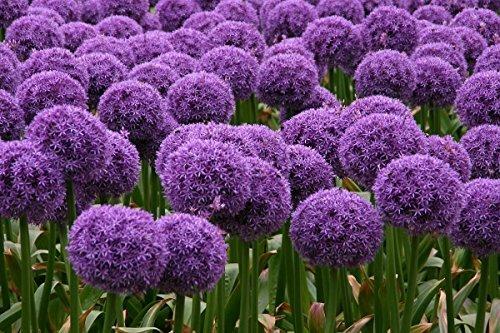 (Allium Globemaster 2 Bulb)