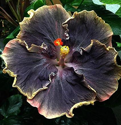 Amazoncom Go Garden 10 Rare Yellow Black Hibiscus Seeds Perennial