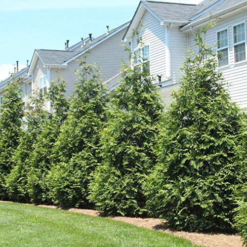 Thuja Green Giant Trees - Large, Tall Evergreen Trees for Instant Privacy! - Oversize Arborvitae Thuja Green Giants (10 Plants (1-2 feet Tall)) by Brighter Blooms (Image #3)