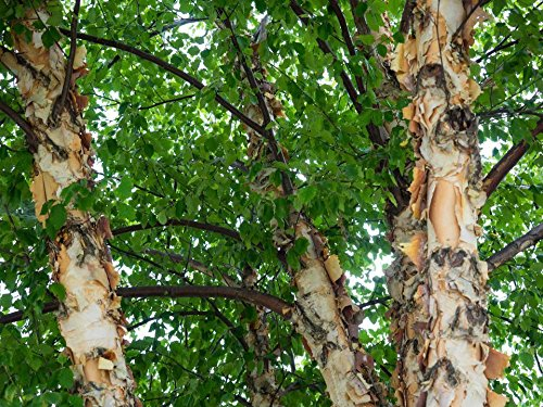 (2 River Birch Trees Unusual and Beautiful Bark)
