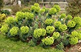 True Source Seeds - Euphorbia CHARACIAS Unique Large Spurge Yellow Hardy Perennial 20 Seeds