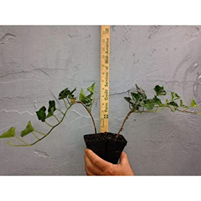Baltic-Sub Zero Ivy 1 Potted Plant #BV06 : Garden & Outdoor