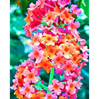 Rainbow Butterfly Bush,Spectacular Flowering Perennial Potted Plant, Flower