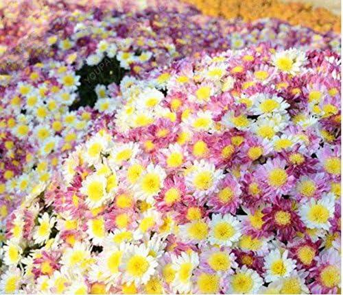 100pcs / bag Cubierta vegetal semillas crisantemo, crisantemo bonsai semillas de flores perenne margarita planta en maceta para el jardín de amarillo: Amazon.es: Jardín