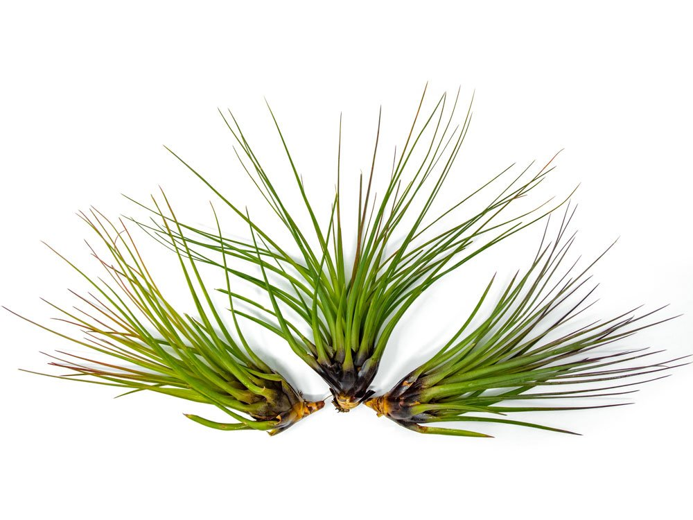 Aquatic Arts 3 GIANT Tricolor Air Plants - 7 to 8 inch Tillandsia - Live House Plants for Sale - Indoor Terrarium Air Plants, 0.3 Pound (Pack of 3)