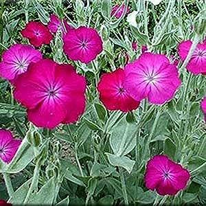 Lychnis- Coronaria- 100 Seeds