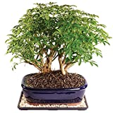Brussel's Dwarf Hawaiian Umbrella Tree Bonsai - Large (Indoor) with Humidity Tray & Deco Rock