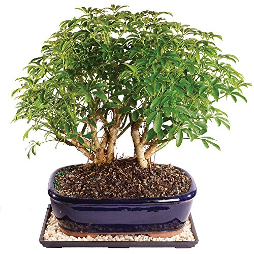 Brussel's Dwarf Hawaiian Umbrella Tree Bonsai - Large (Indoor) with Humidity Tray & Deco Rock by Brussel's Bonsai