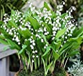 10 Large, Plump Lily of the Valley Bare Root Plants - Bloom in May