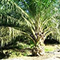 African Oil Palm Seeds (Elaeis guineensis) 2+ Rare Palm Tree Seeds