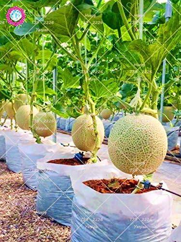 Honigmelone 5//10//25 x Samen aus Portugal 100/% Natursamen super s/ü/ß