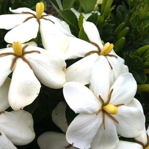 Fiori Gialli Gardenia.1 Pianta Di Gardenia Jasminoides Kleim S Hardy Vaso 16cm Fiori