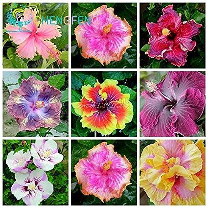 Sur 200pcs graines Hibiscus 24kinds HIBISCUS ROSA-sinensis fleur ...