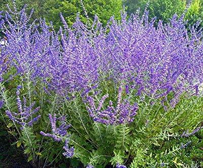 Crazy Blue Russian Sage Plant - Perovskia - Quart Pot