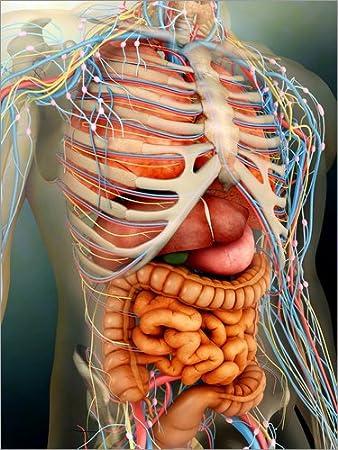 Poster 90 x 120 cm: Menschlicher Körper, Organe und Knochen. von ...