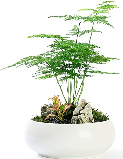 Amazon Com Fern Leaf Plumosus Asparagus Fern Seeds 6 Easy To Grow Great Houseplant Garden Outdoor
