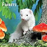 Ferrets 2019 12 x 12 Inch Monthly Square Wall Calendar, Domestic Furry Animals