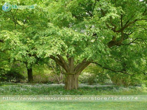 semillas del árbol 50pcs / bag coreana carpe semillas semillas de mini árboles bonsai para el jardín de muy hermoso brote del 95%: Amazon.es: Jardín