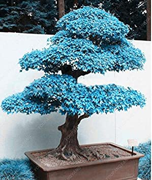 50 Pc Rare Blau Maple Samen Bonsai Baum Pflanzen Topf Klage Fur Diy