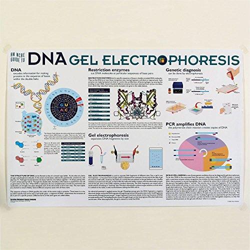 DNA Gel Electrophoresis (Pcr Gel Electrophoresis)