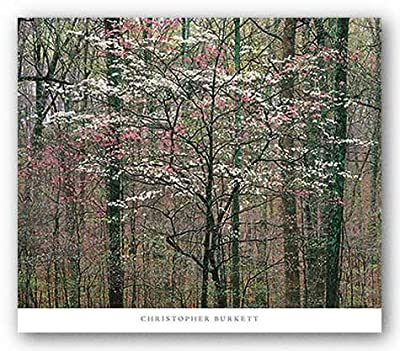 "Pink and White Dogwoods, Kentucky by Christopher Burkett 30""x24"" Art Print Poster"