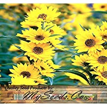 4 Packs x 400 MAXIMILIAN, PERENNIAL SUNFLOWER seeds OVER 8 FEET TALL ~ TALLER THAN MOMMOTH - Zones 1-10 - By MySeeds.Co