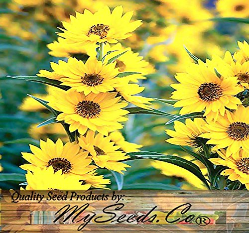 maximilian sunflower seeds - 2