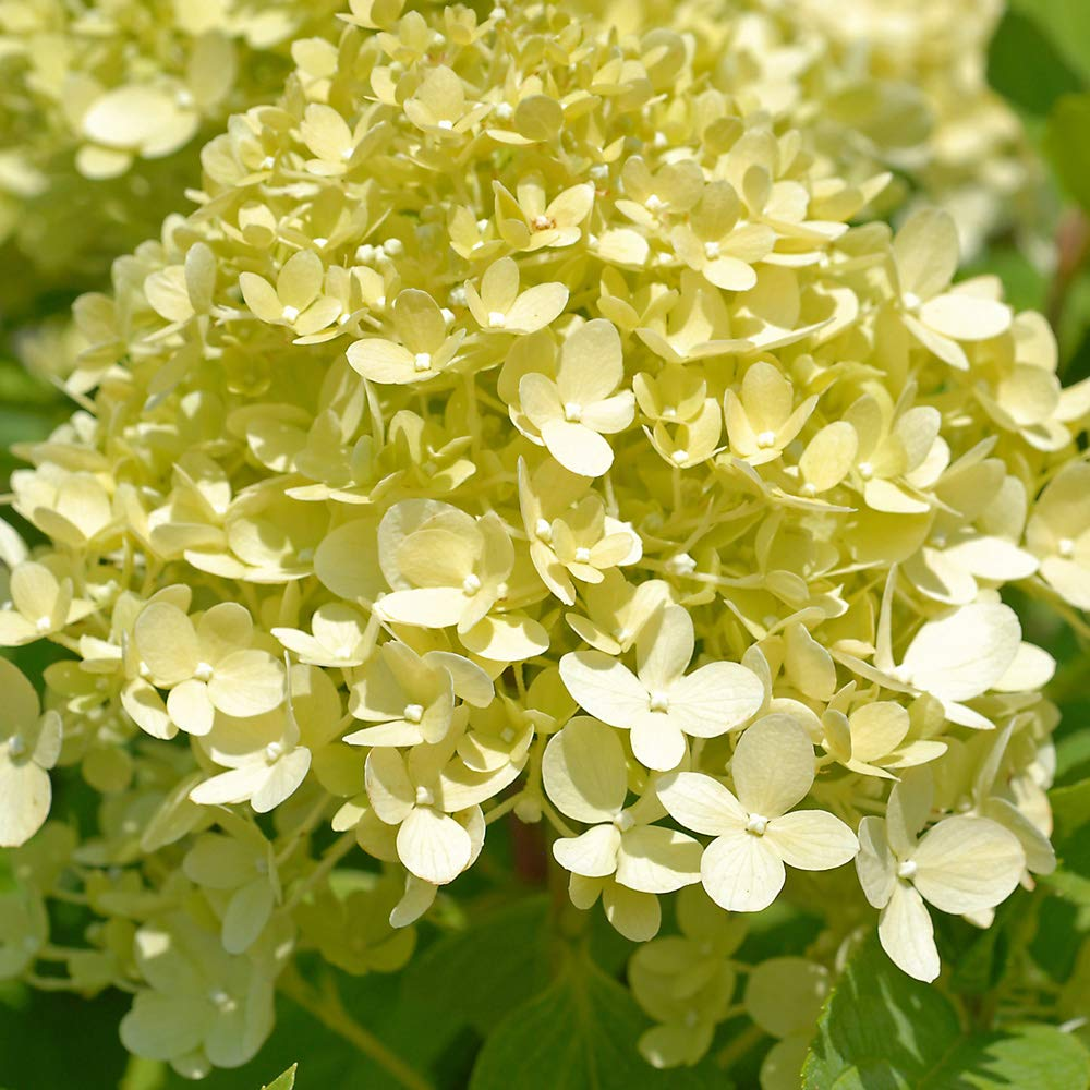 Hydrangea Limelight Standard Deciduous Shrub Lime-Green and White Flower Heads Ideal as a Focal Point Borders and Containers 1 x 4.5 Litre Pot by Thompson and Morgan