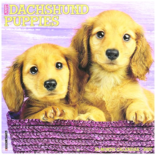 Dachshund Puppies 2017 Wall Calendar
