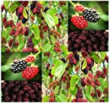 50 x Black Mulberry Fruit - Tree Seeds - Morus nigra ~ SHADE TREE with EDIBLE FRUITS - Zones 6 -10 - By MySeeds.Co by MySeeds.Co