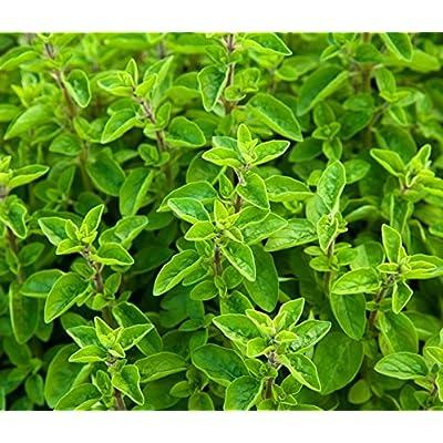 Marjoram seeds - Origanum majorana : Garden & Outdoor