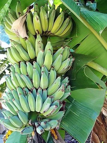 Pisang Awak Aka Dwarf Namwah Cold Hardy Live Banana Plant