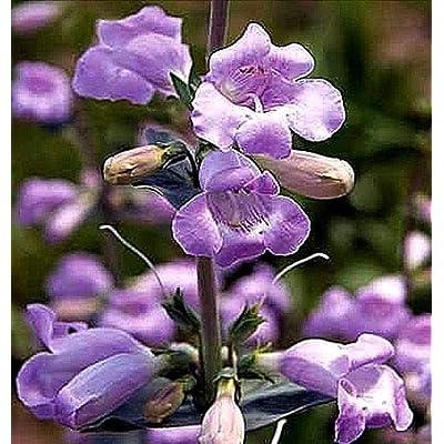 Penstemon Grandiflorus/Large Beardtongue 25 Seeds Pink/Lavender Blossoms - Hummingbird Attractor - Wildflower!!.Penstemon Grandiflora : Garden & Outdoor
