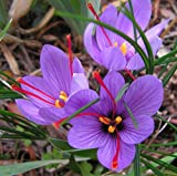Saffron Crocus 10 Bulbs - Rare Spice - Fall Blooming - Crocus Sativus