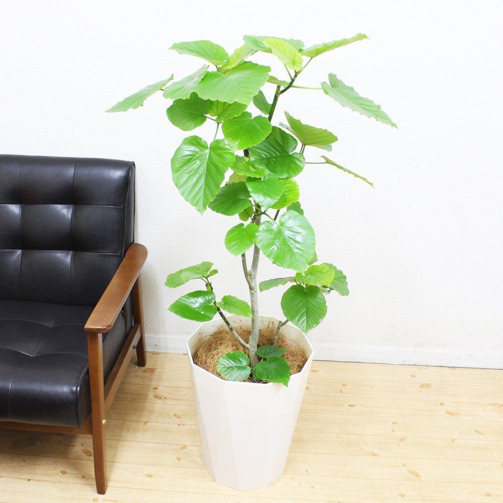フィカス ウンベラータ ゴムの木 120cm スタイリッシュな白色鉢カバー付 観葉植物 中型 大型 インテリア B0158HHJB2